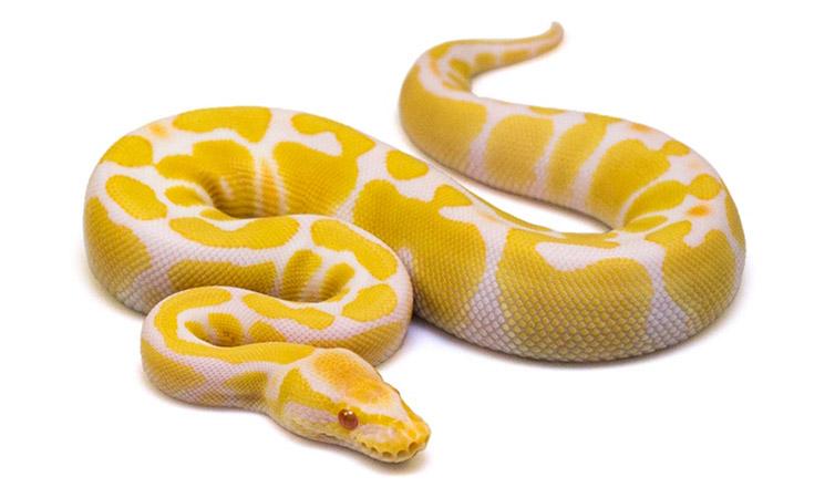 COLLECTION 1 - Ball Pythons Breeder & Farm